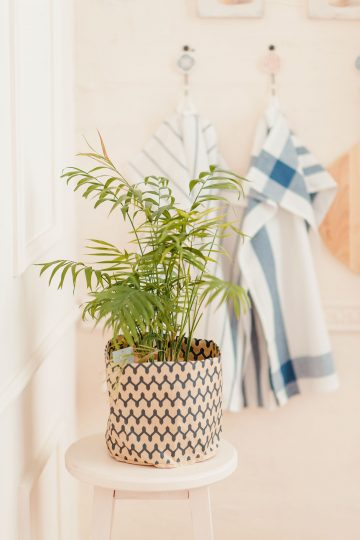 indoor plants for clean air kentia palm