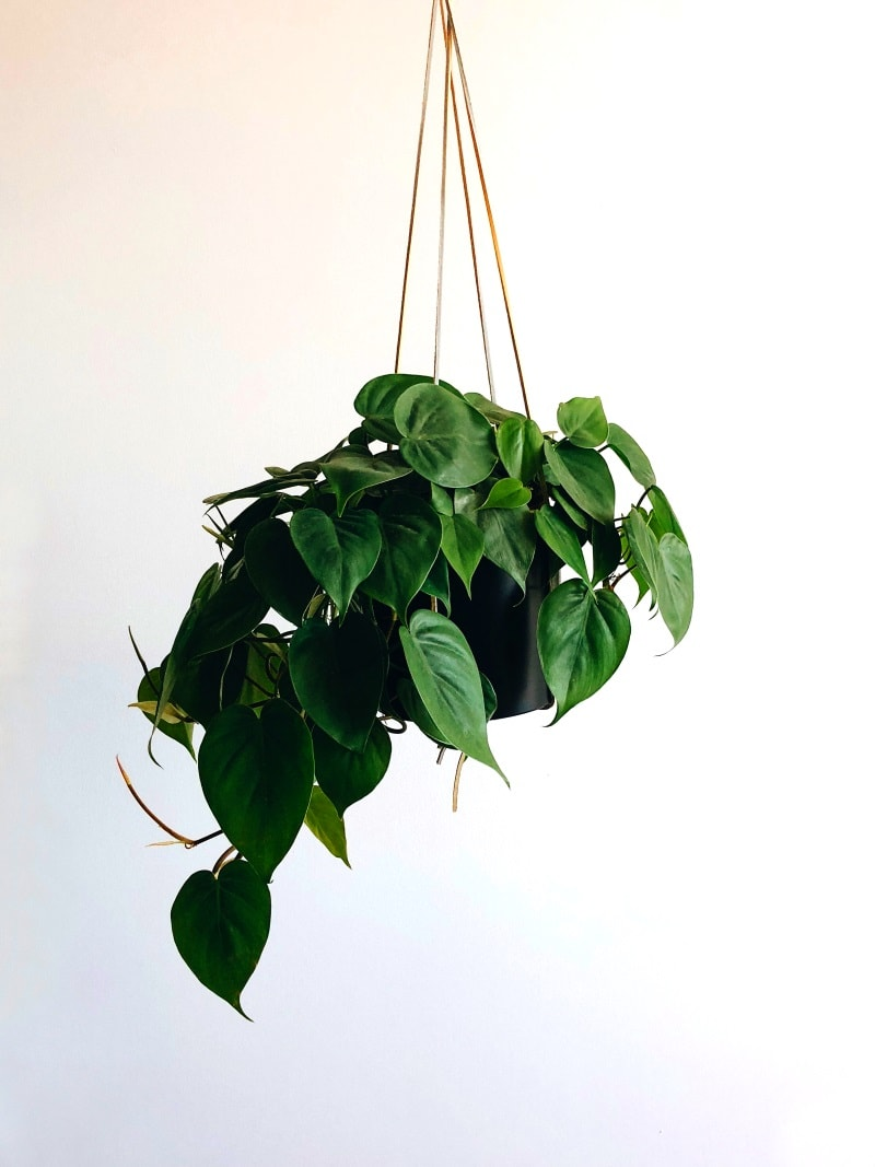 pothos indoor plant