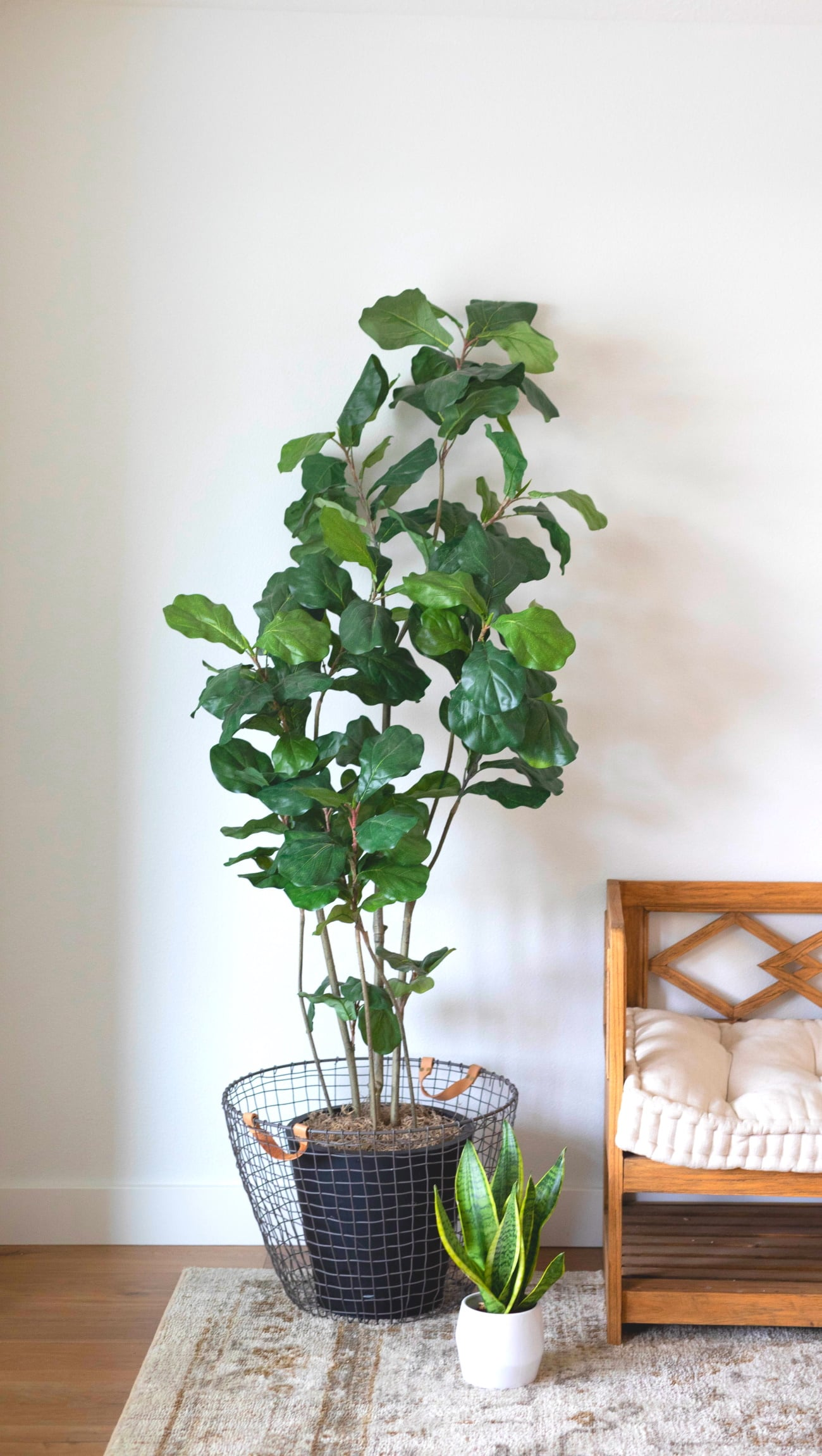 fiddle leaf fig tree indoor plant for ar purification