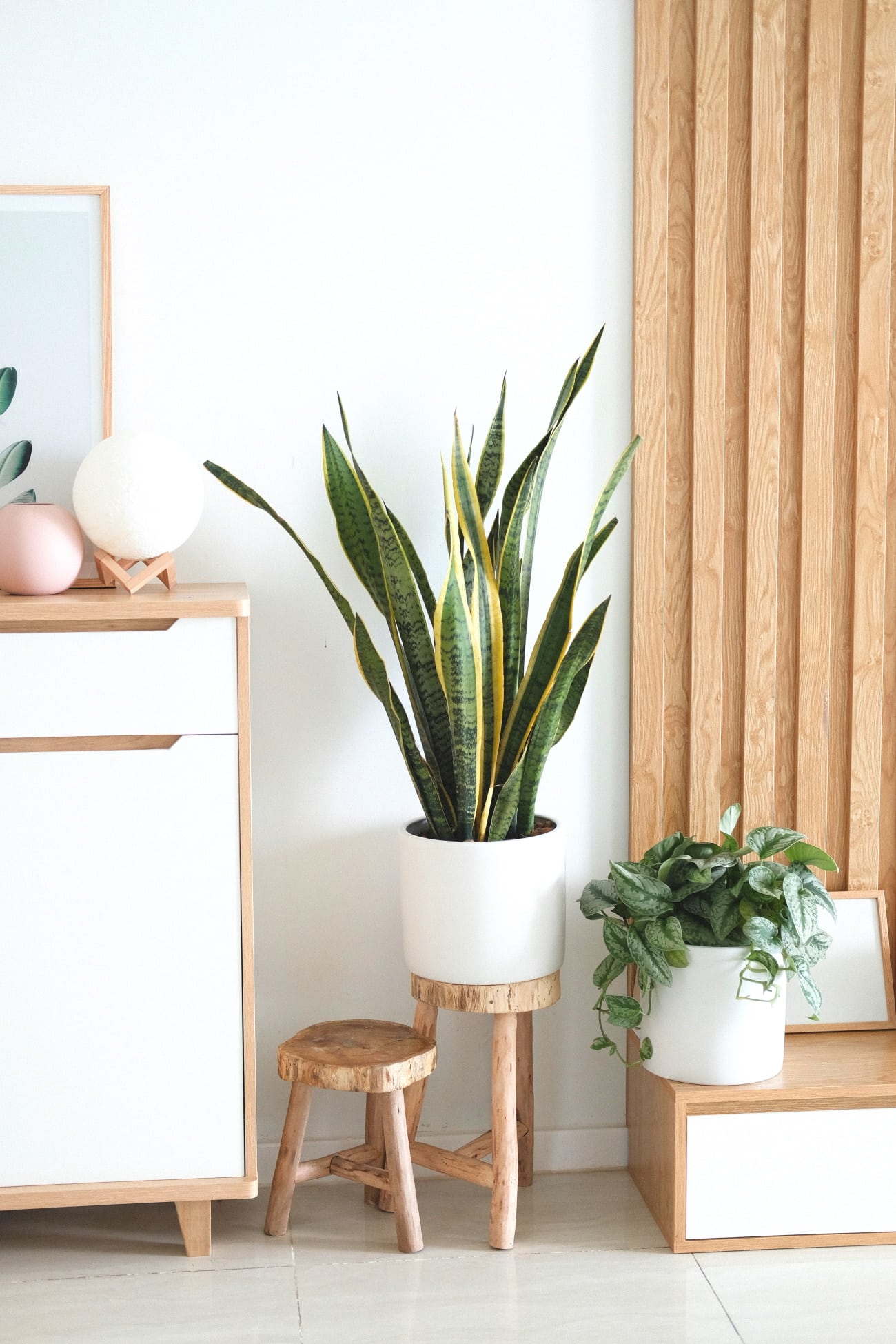 snake plant purifies indoor air